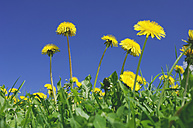Meadow of dandelions, Taraxacum officinale, in front of blue sky - RUEF001253
