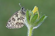 Marbled White, Melanargia galathea, on a blossom in front of green background - RUEF001257