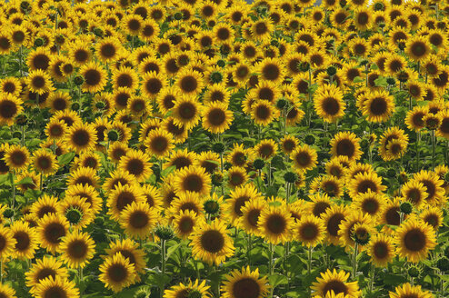 Field of sunflowers, Helianthus annuus - RUEF001262