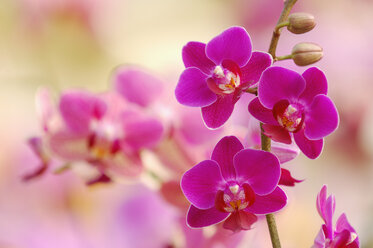 Pink blossoms of orchid, Phalaenopsis, close-up - RUEF001279