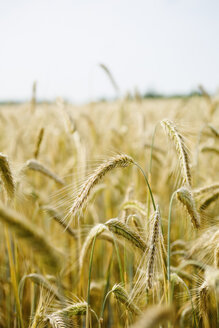 Spikes in a rye field, Secale cereale - SEF000817