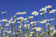 Meadow of Ox-eye daisies, Leucanthemum vulgaren, in front of blue sky - RUEF001287