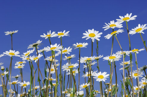 Meadow of Ox-eye daisies, Leucanthemum vulgaren, in front of blue sky - RUEF001287