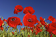 Common Poppies, Papaver rhoeas, in front of blue sky - RUEF001289
