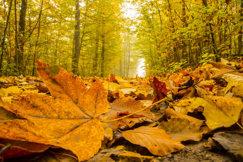 Germany, Baden-Wuerttemberg, beech forest in autumn - WGF000405