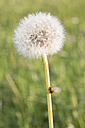 Blowball with ladybird - SARF000751