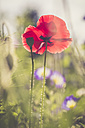 Germany, Bavaria, Poppies, Papaver rhoeas, on meadow - SARF000779