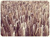 Wheat field - SHIF000013