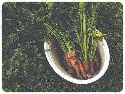 Carrots in garden - SHI000024