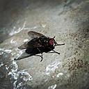 Housefly - HOHF000932