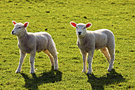 Two lambs standing on a meadow - KRPF000974
