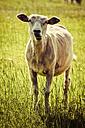Sheared sheep on meadow - KRPF000978