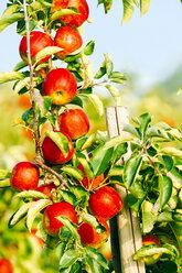 Germany, Hamburg, Altes Land, Ripe apples on apple tree - KRP000987