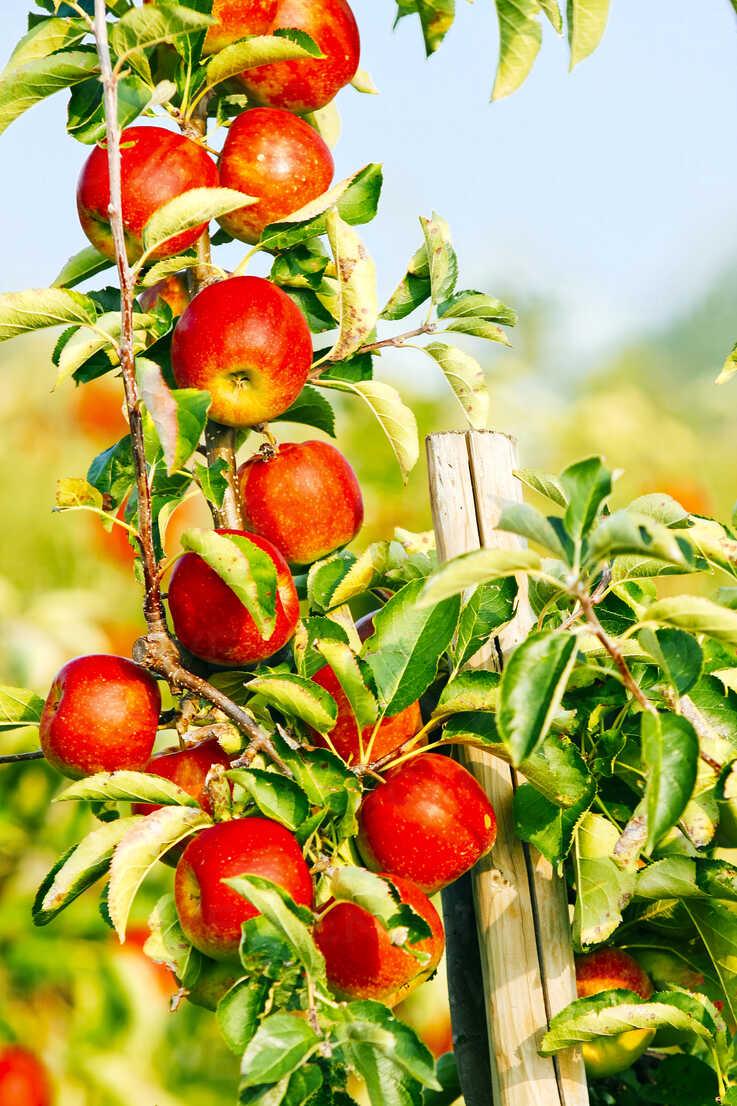 Germany, Hamburg, Altes Land, Ripe apples on apple tree - KRP000987 - Kristian Peetz/Westend61