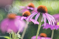 Germany, Purple coneflowers, Echinacea Purpurea - ELF001255