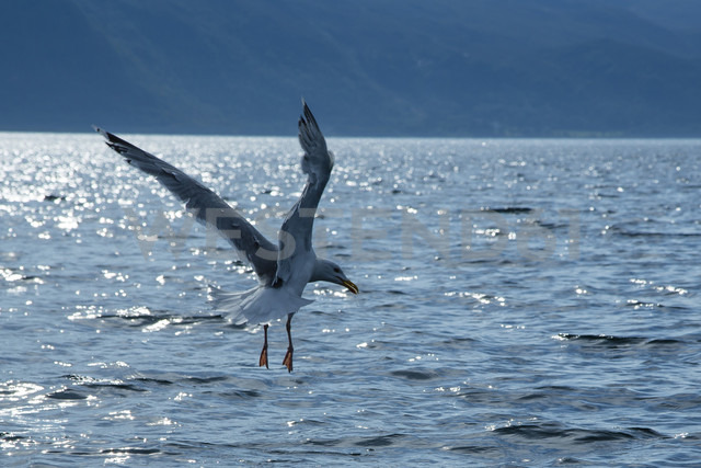 Norway, seagull flying over water - NGF000137