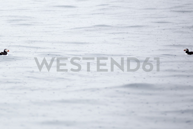 Norway, two Atlantic puffins on water with raindrop - NGF000196 - Nadine Ginzel/Westend61