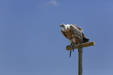 Griffon vulture, Gyps fulvus, sitting on wooden pole in front of blue sky - GFF000528