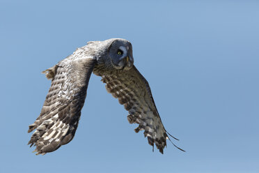 Great grey owl, Strix nebulosa, flying in front of blue sky - GFF000531