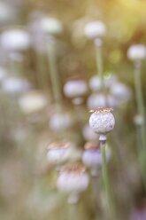 Germany, Poppy seed capsules, Papaver somniferum - ELF001268