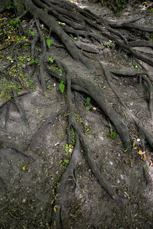 Germany, Bavaria, Riem, Tree with roots and little green leaves - AX000713