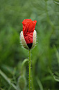 Germany, Bavaria, Red poppy, Papaver rhoeas - AXF000724