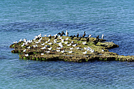 Australia, South Australia, Robe, small island with seabirds - MIZ000553