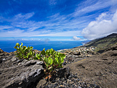 Spain, Canary Islands, La Palma, Euphorbia at Southern Coast near Las Indias - AMF002690