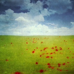 Red poppies in a rape field, digital alteration - DWI000152
