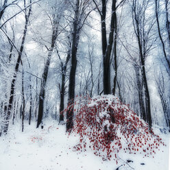 Snow covered trees in a forest with little red leaved tree in the foreground, digital alteration - DWI000163