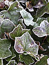 Ivy in frost - FCF000423