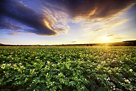 Scotland, East Lothian, sunset over potato field - SMAF000245