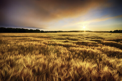 Scotland, East Lothian, sunrise over barley field - SMAF000248