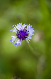 Germany, Blossom of a cornflower, Centaurea cyanus - MYF000535