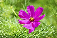 Single blossom of Mexican Aster, Cosmea, at sunlight - CSF022726
