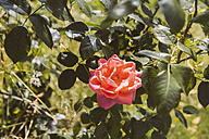 Germany, Northrhine Westphalia, Bornheim, Rose in garden - MFF001166