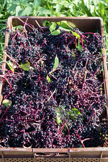 Black elderberries in a box - CSF022738