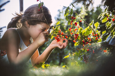 Germany, Northrhine Westphalia, Bornheim, Girl inspecting currant bushes - MFF001215