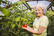 Germany, Northrhine Westphalia, Bornheim, Senior woman admiring ripe tomatoes in greenhouse - MFF001233