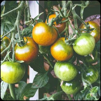 Tomatoes - SHIF000071