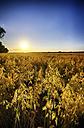 United Kingdom, Scotland, East Lothian, North Berwick, Field of oats, Avena sativa, at sunset - SMAF000255