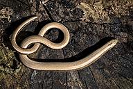 Slow worm, Anguis fragilis, on wood - MJOF000692