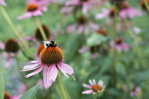 Bumblebee, Bombus, sitting on a coneflower - HAWF000460
