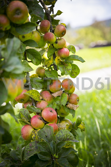 Twig of an apple tree with plenty of fruits - LVF001799