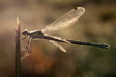 Emerald Damselfly, Lestes sponsa, at backlight - MJOF000694