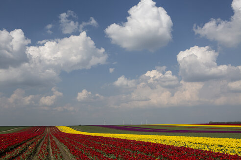 Germany, tulip fields - ASCF000097