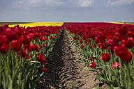 Germany, red tulip fields - ASCF000099