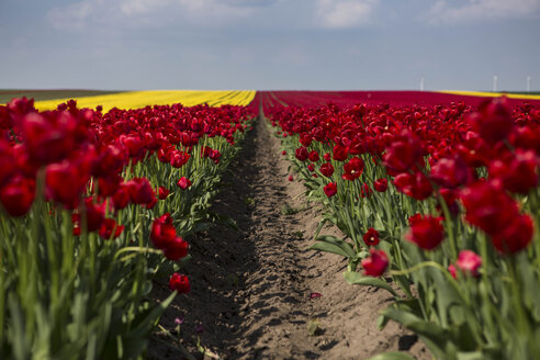 Germany, red tulip fields - ASCF000099