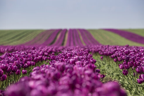 Germany, purple tulip fields - ASCF000101