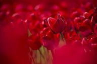 Germany, red tulip field - ASCF000103